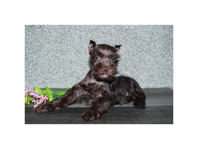 Miniature Schnauzer-Female-Chocolate-2731915-The Barking Boutique