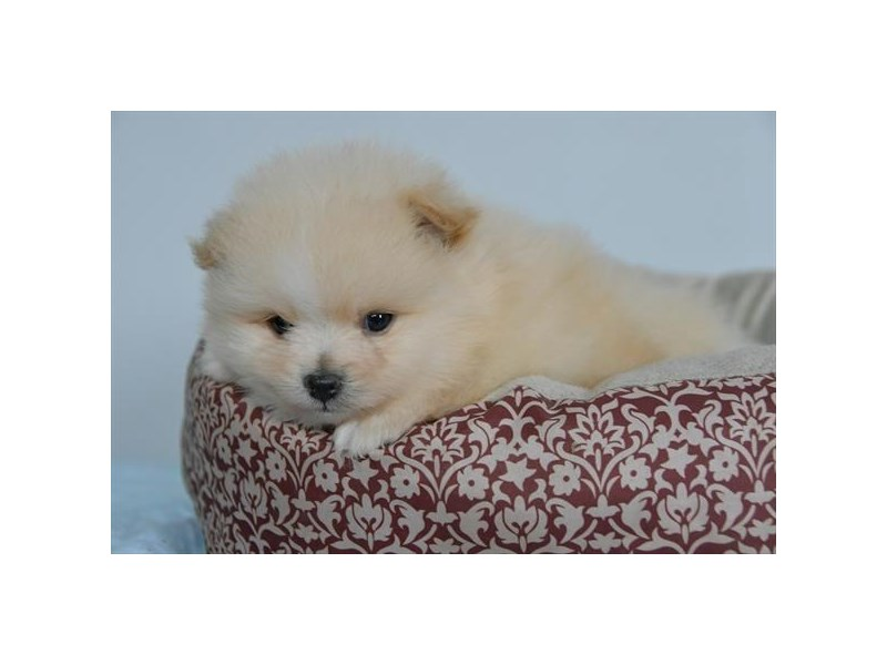 Pomeranian-Male-Cream-2731935-The Barking Boutique