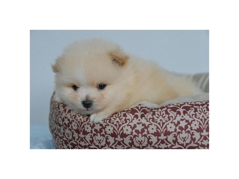 Pomeranian – Toki