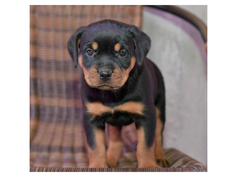 Rottweiler-Female-Black / Tan-2731938-The Barking Boutique