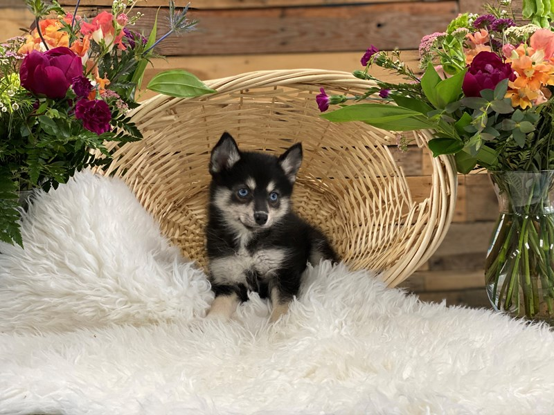 Pomsky 2nd Gen-Female-Blk & Wht-2736368-The Barking Boutique