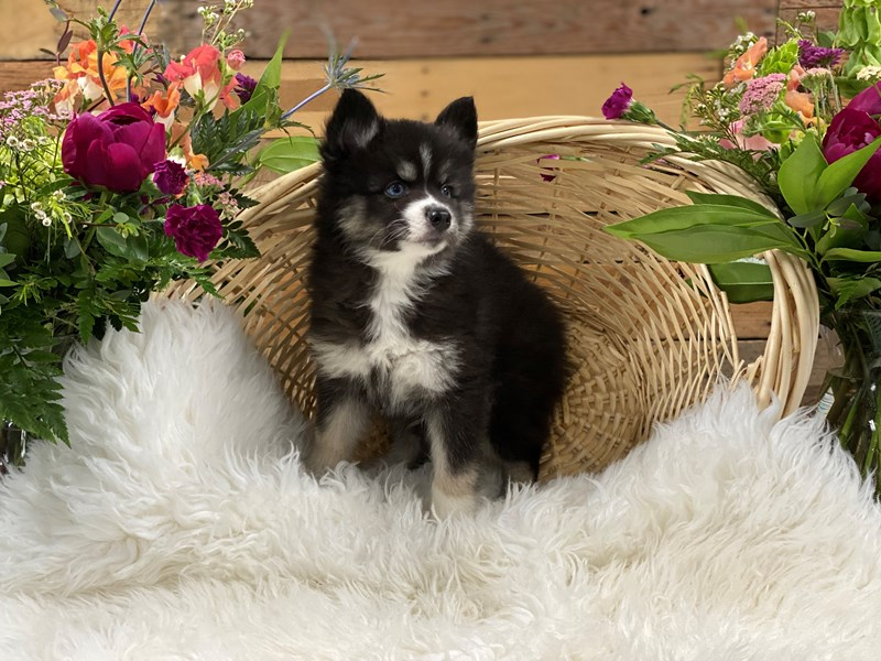Pomsky 2nd Gen-Male-Blk & Wht-2736356-The Barking Boutique