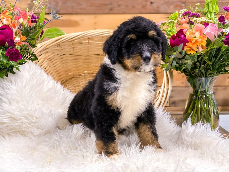 Bernedoodle-Female-Blk Tri-2736301-The Barking Boutique