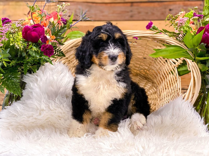 Bernedoodle-Female-Blk Tri-2736280-The Barking Boutique