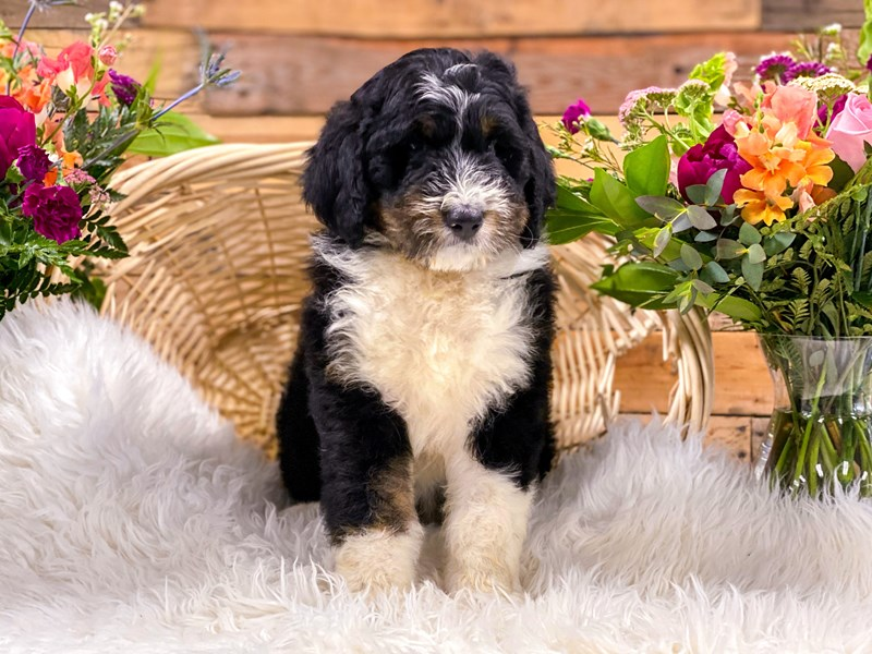Bernedoodle-Male-Blk Tri-2736270-The Barking Boutique