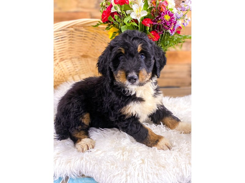 Bernedoodle-Male-Blk tri-2736177-The Barking Boutique