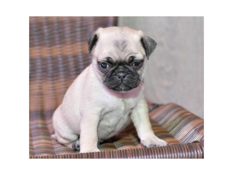 Pug-Male-Fawn-2739189-The Barking Boutique