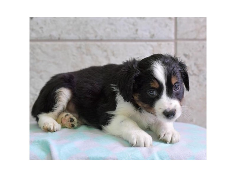 Miniature Australian Shepherd-Male-Black-2739286-The Barking Boutique