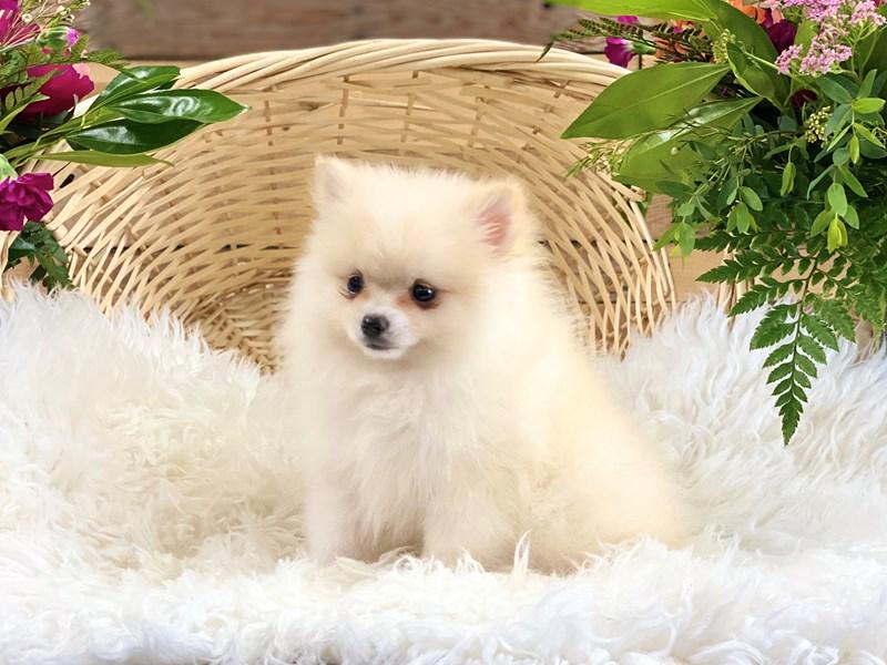 Pomeranian – Rosa