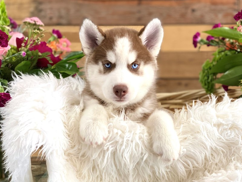 Siberian Husky-Male-Rust / White-2739075-The Barking Boutique