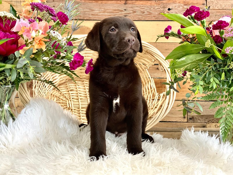 Labrador Retriever-Male-Chocolate-2739074-The Barking Boutique