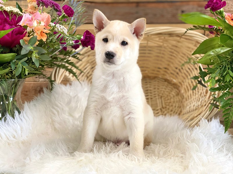 Shiba Inu-Male-Cream-2739076-The Barking Boutique