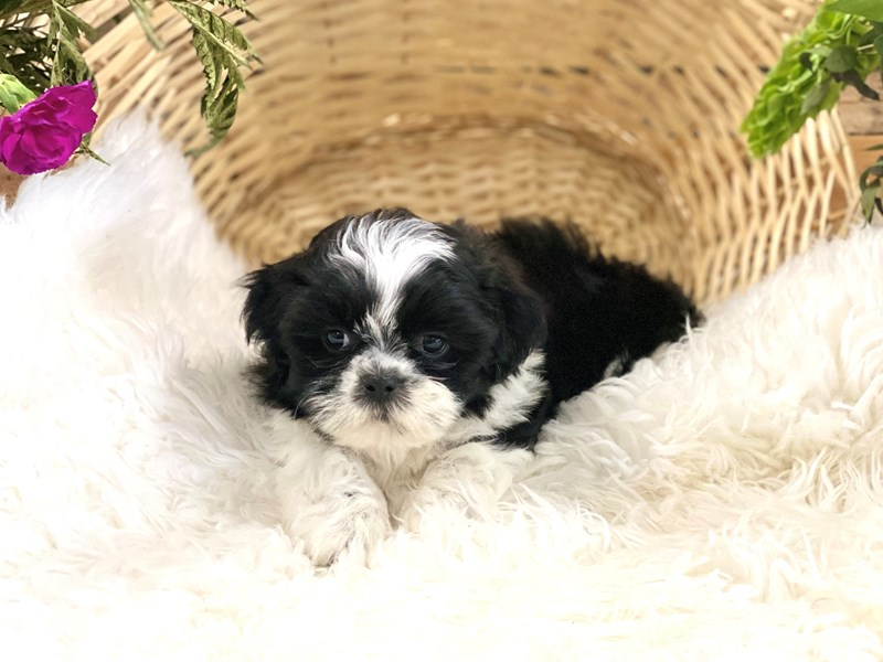 Shih Tzu-Male-Black and white-2743669-The Barking Boutique
