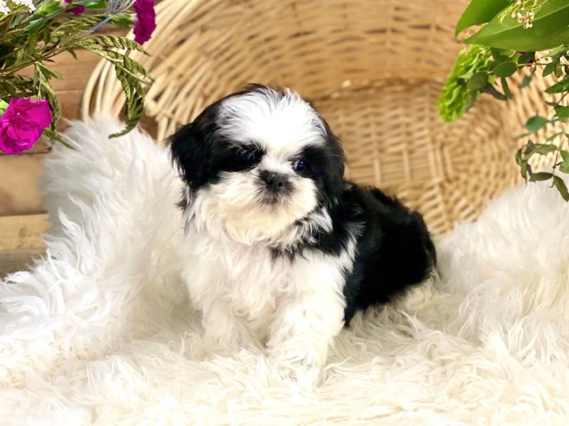 Shih Tzu-Female-Black and white-2743665-The Barking Boutique