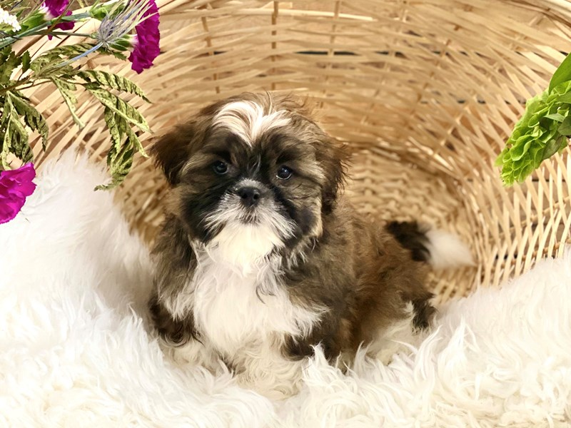 Shih Tzu-Male-Party-2743664-The Barking Boutique