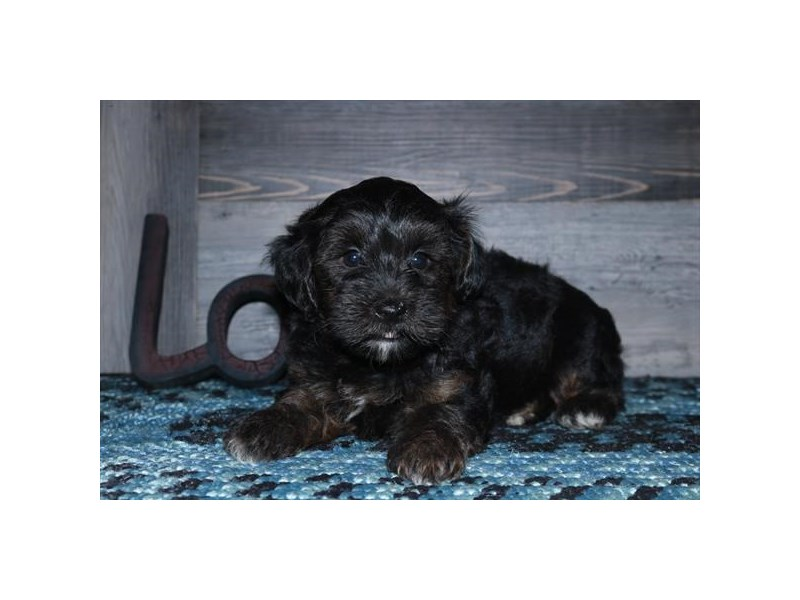 Yorkie/Poodle-Male-Black-2746567-The Barking Boutique