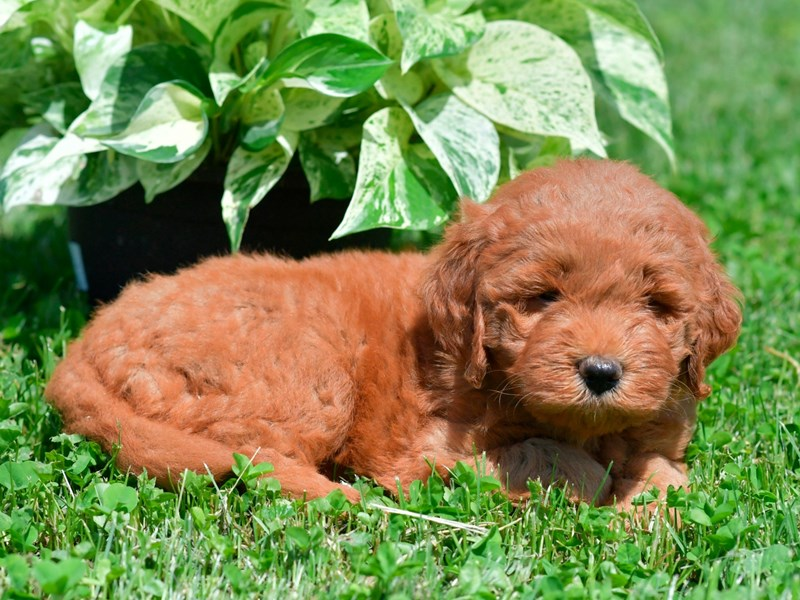 Goldendoodle Mini-Male-Red-2746568-The Barking Boutique