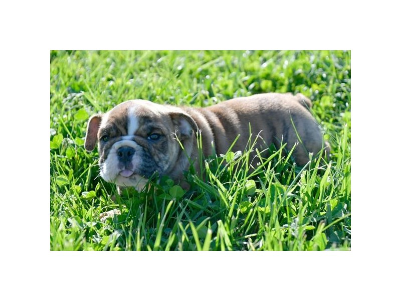 Bulldog-Female-Brown-2746570-The Barking Boutique