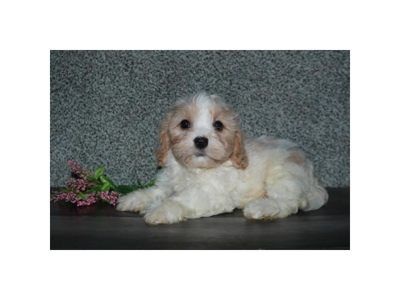Cavachon-Male-Cream / White-2746571-The Barking Boutique