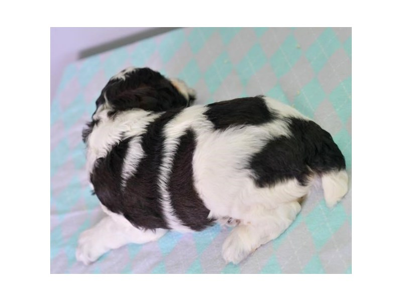 Cock A Poo-Female-Black / White-2746591-The Barking Boutique
