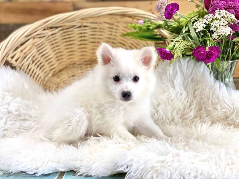 American Eskimo Dog-Male-White-2746569-The Barking Boutique