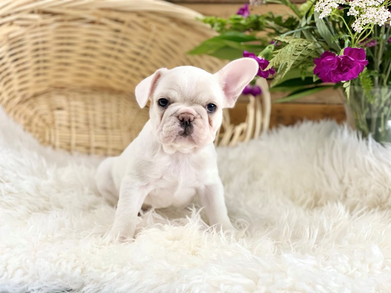 French Bulldog-Female-White-2746566-The Barking Boutique