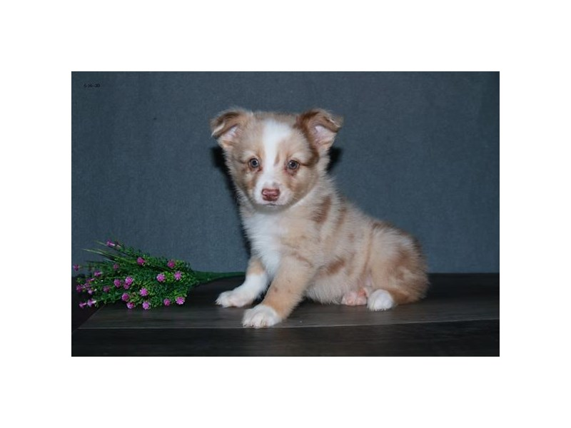 Mini Australian Shepherd-Male-Red Merle-2753616-The Barking Boutique