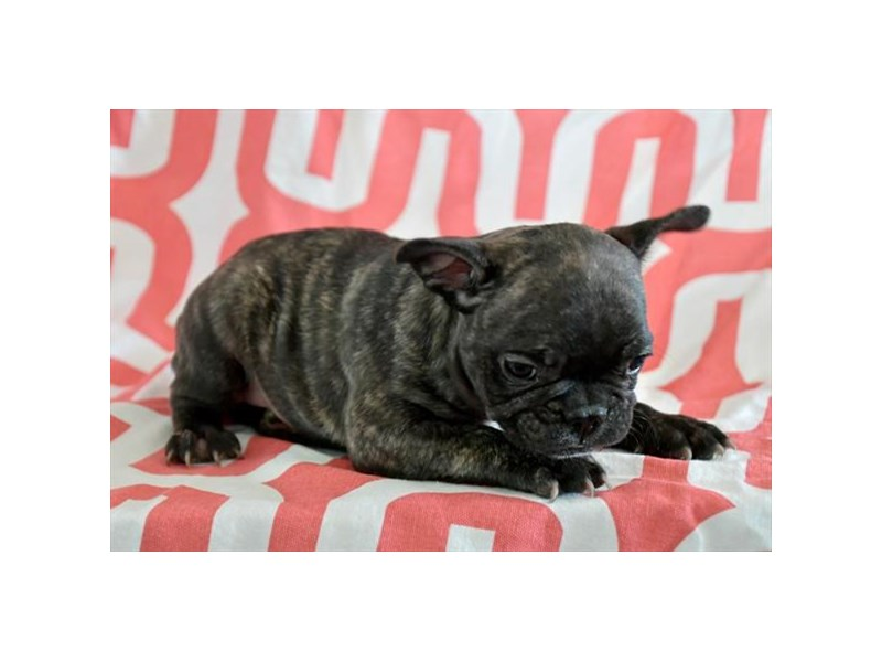 French Bulldog-Male-Brindle-2753617-The Barking Boutique