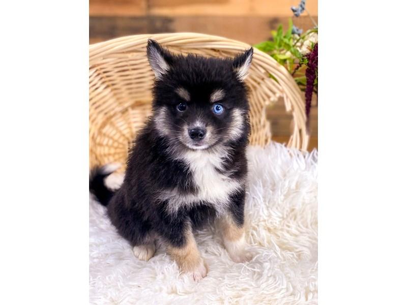 Pomsky-Female-Black-2758204-The Barking Boutique