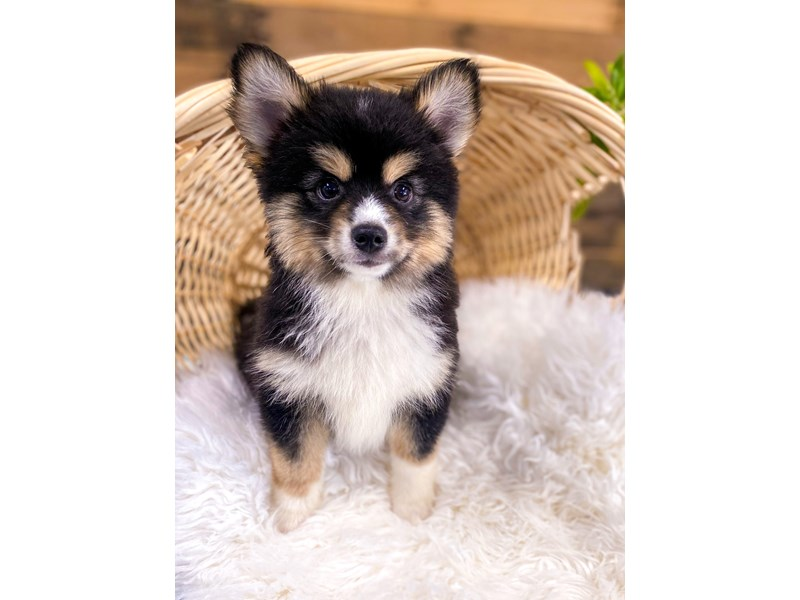 Pomsky-Male-Black-2758320-The Barking Boutique