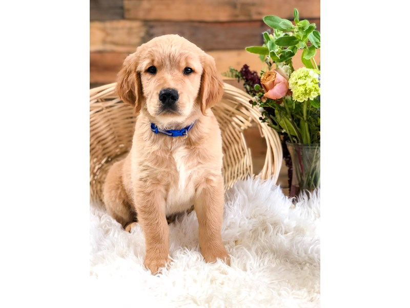 Golden Retriever-Male-Golden-2759813-The Barking Boutique