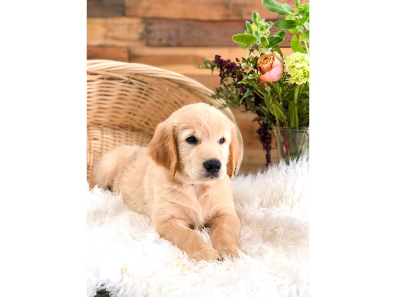 Golden Retriever-Male-Cream-2759810-The Barking Boutique