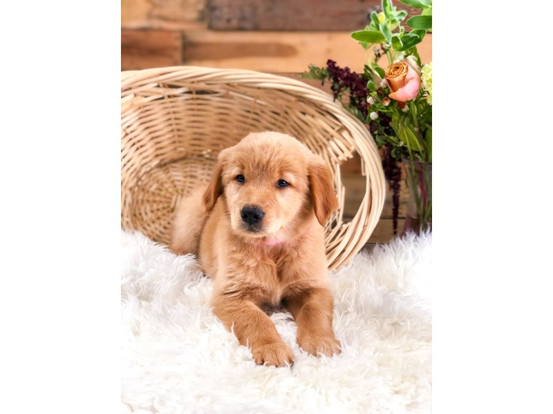 Golden Retriever-Female-Dk Golden/Lt Red-2759817-The Barking Boutique