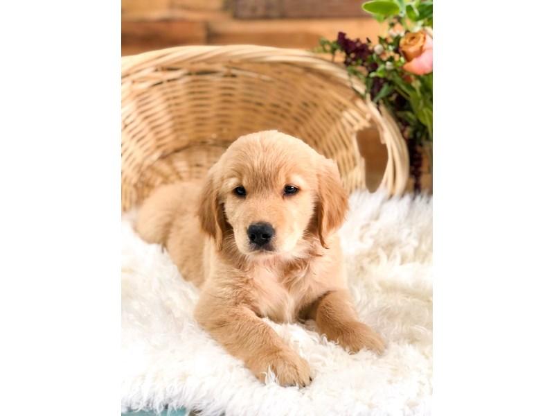 Golden Retriever-Female-Golden-2759819-The Barking Boutique