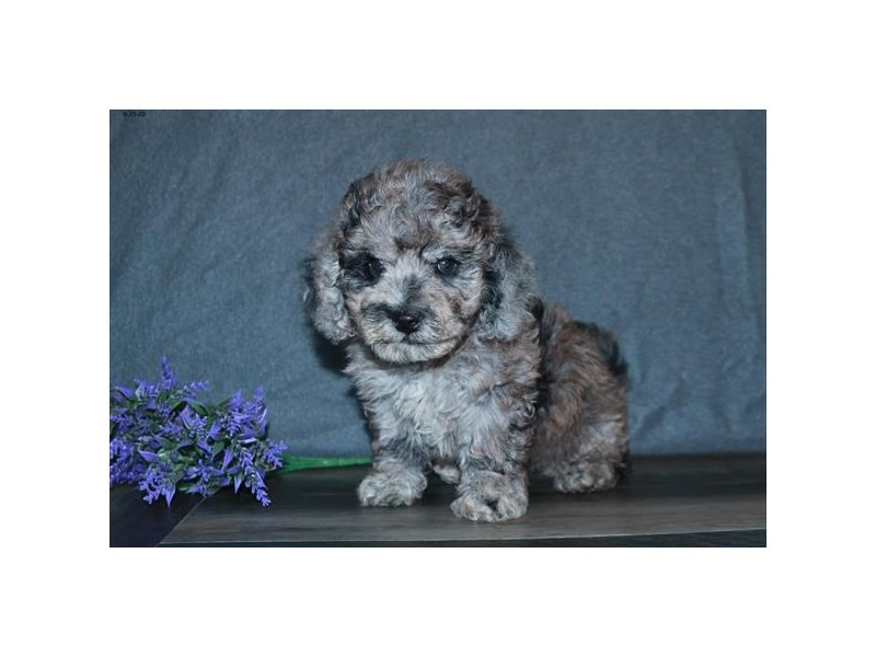 Poochon-Male-Blue Merle-2761771-The Barking Boutique