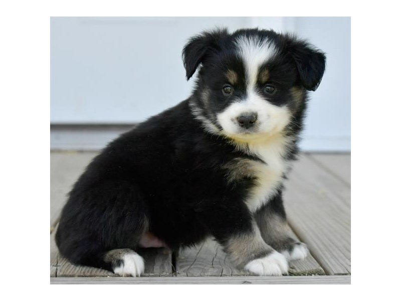 Miniature Australian Shepherd-Male-Black-2761864-The Barking Boutique