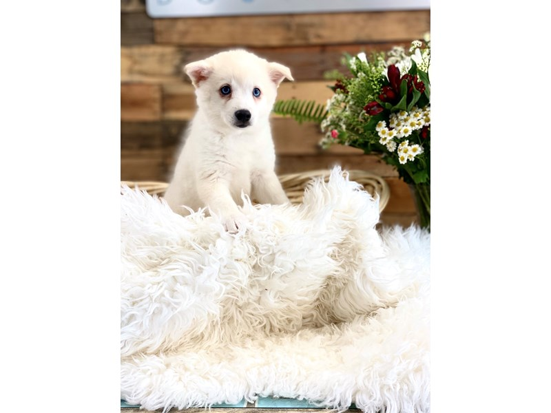 American Eskimo/Alaskan Klee Kai-Male-Cream-2761865-The Barking Boutique