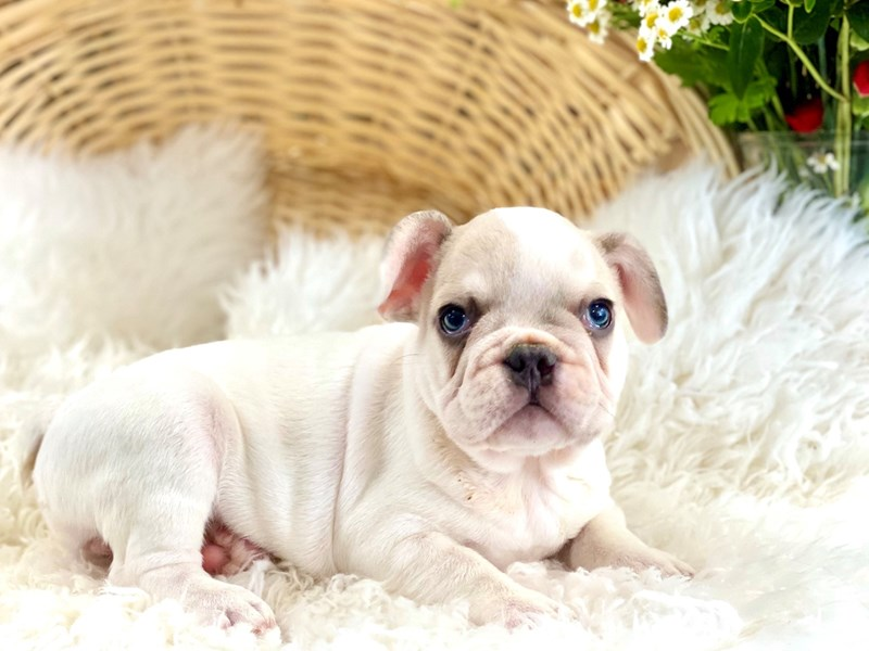 French Bulldog-Male-Gray / White-2761773-The Barking Boutique