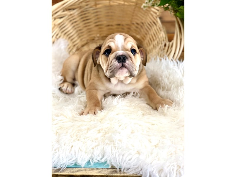 Bulldog-Female-Fawn-2761772-The Barking Boutique