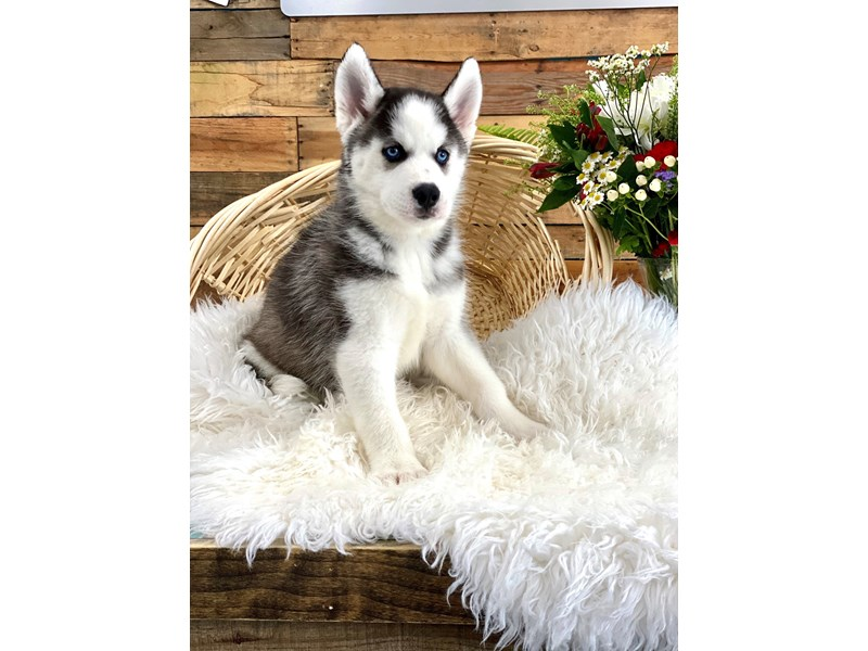 Siberian Husky-Male-Black / White-2761770-The Barking Boutique