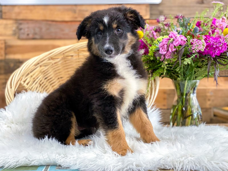 Border Collie/Rough Coated Collie-Female-Tricolor-2765805-The Barking Boutique