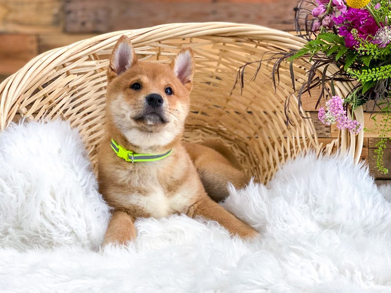Shiba Inu-Male-Red-2765793-The Barking Boutique