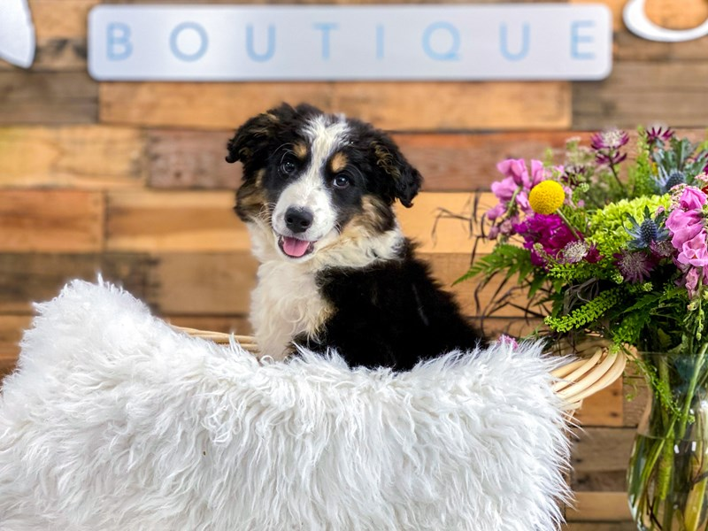 Border Collie/Rough Coated Collie – Doug