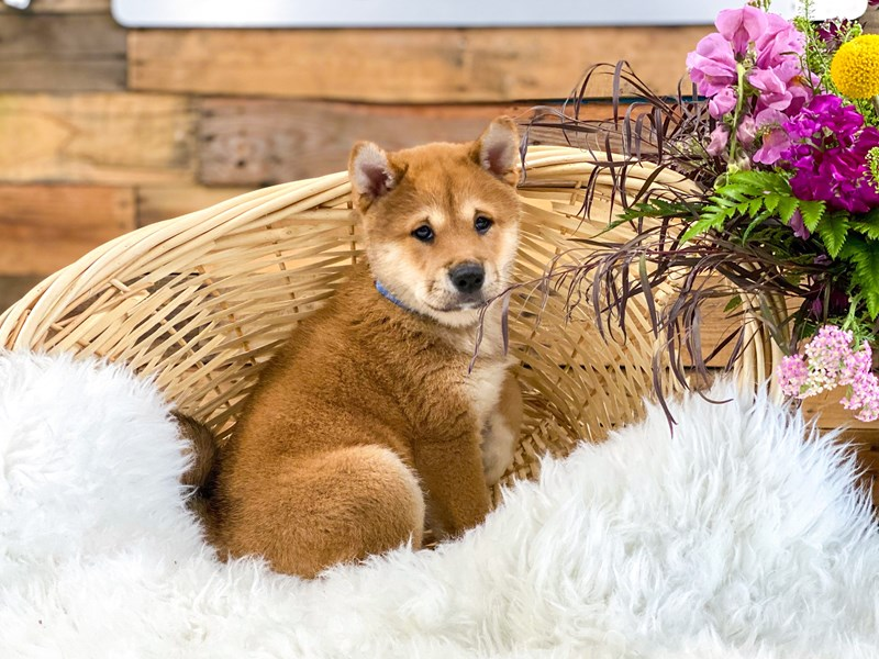 Shiba Inu-Male-Red-2765797-The Barking Boutique