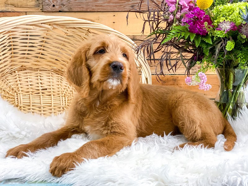 Labradoodle-Male-Red-2765881-The Barking Boutique