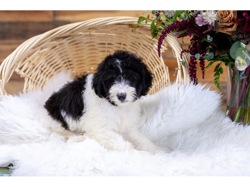 F1B Mini Bernedoodle-Female-Blk & Wht-2773801-The Barking Boutique