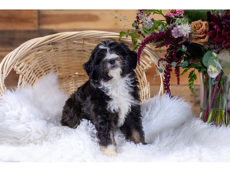 F1B Mini Bernedoodle-Male-Blk & Tri-Color-2773816-The Barking Boutique