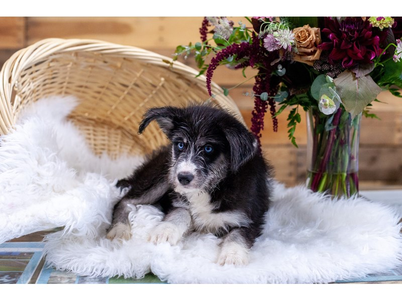 Huskypoo-Female-Blk & Wht-2773513-The Barking Boutique