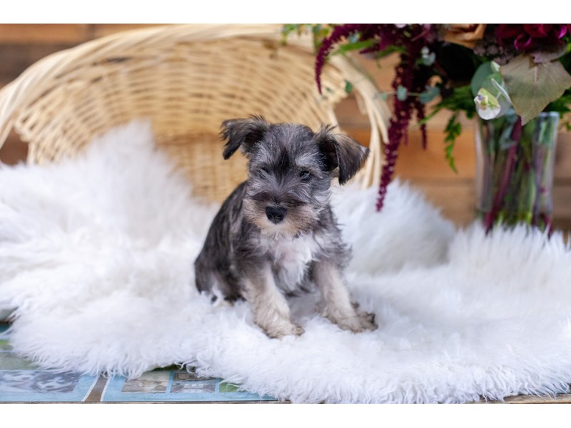 Miniature Schnauzer-Male-Salt and Pepper-2773374-The Barking Boutique