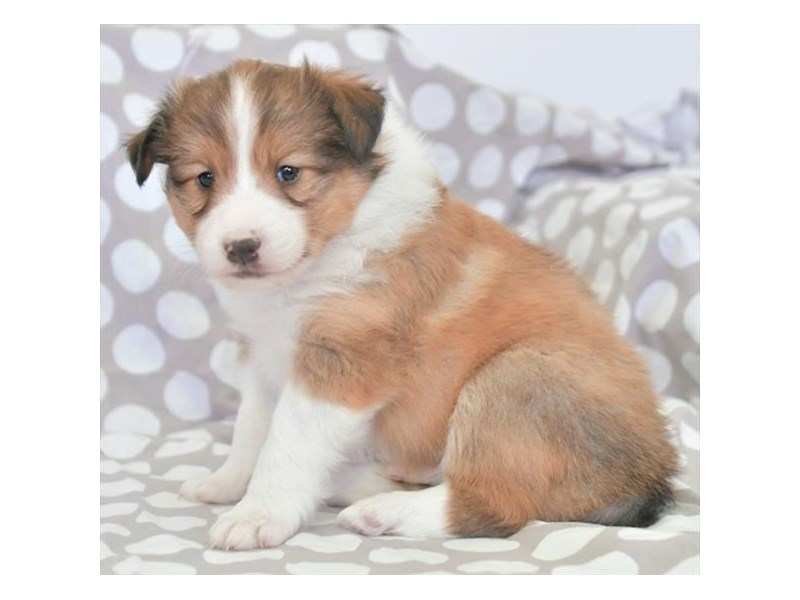 Shetland Sheepdog-Male-Sable / White-2776685-The Barking Boutique